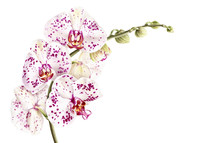 Watercolor Phalaenopsis Orchid Branch Isolated On White Background. Hand Drawn Realistic Botanical Illustration.