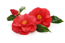 Flowers Of Camellia On A White...
