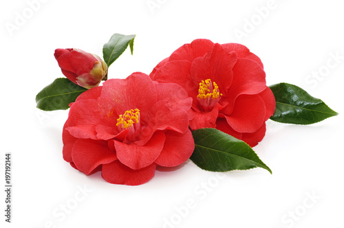 Canvas flowers of camellia on a white background