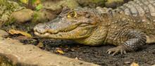 Nahaufnahme Krokodil