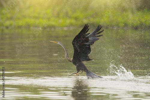 Fotografie, Obraz  Oriental darter; Snakebird take off