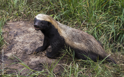 Photo african honey badger