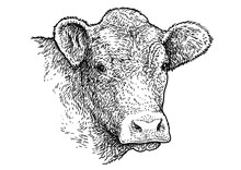 Cow Head Portrait Illustration, Drawing, Engraving, Ink, Line Art, Vector