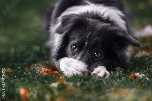 Tablou Canvas Border collie dog