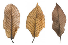 Dry Brown Leaves Watercolor  Isolated On White Background.