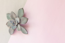 Minimalist Still Life, Beautiful Grey Succulent Flower, Stone Rose On Grey And Pink Simple Background, With Geometry Lines, Shapes, Forms, Soft Pastel Colors