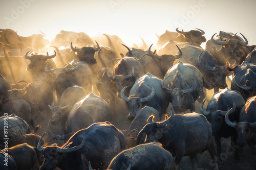 Spoed Fotobehang Buffel Group of Thai buffalo running
