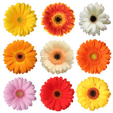 Wonderful Colorful Gerberas Isolated On White Background.