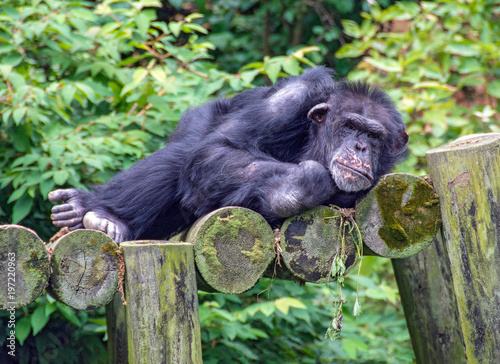 Fotografie, Obraz  reclining chimpanzee on rustic logs with green foliage background