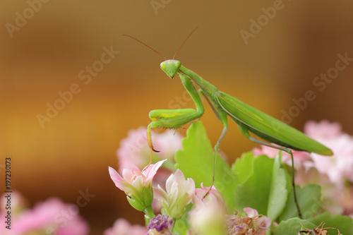 Obraz na plátně  mante religieuse insecte
