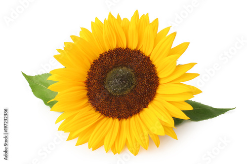 Spoed Foto op Canvas Zonnebloem Beautiful sunflower (Helianthus annuus, Asteraceae) isolated on white background, inclusive clipping path without shade.