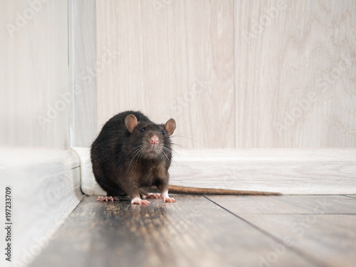 Rat in the house on the floor