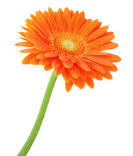 Wonderful Gerbera Isolated On ...
