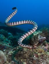 Banded Sea Snake.