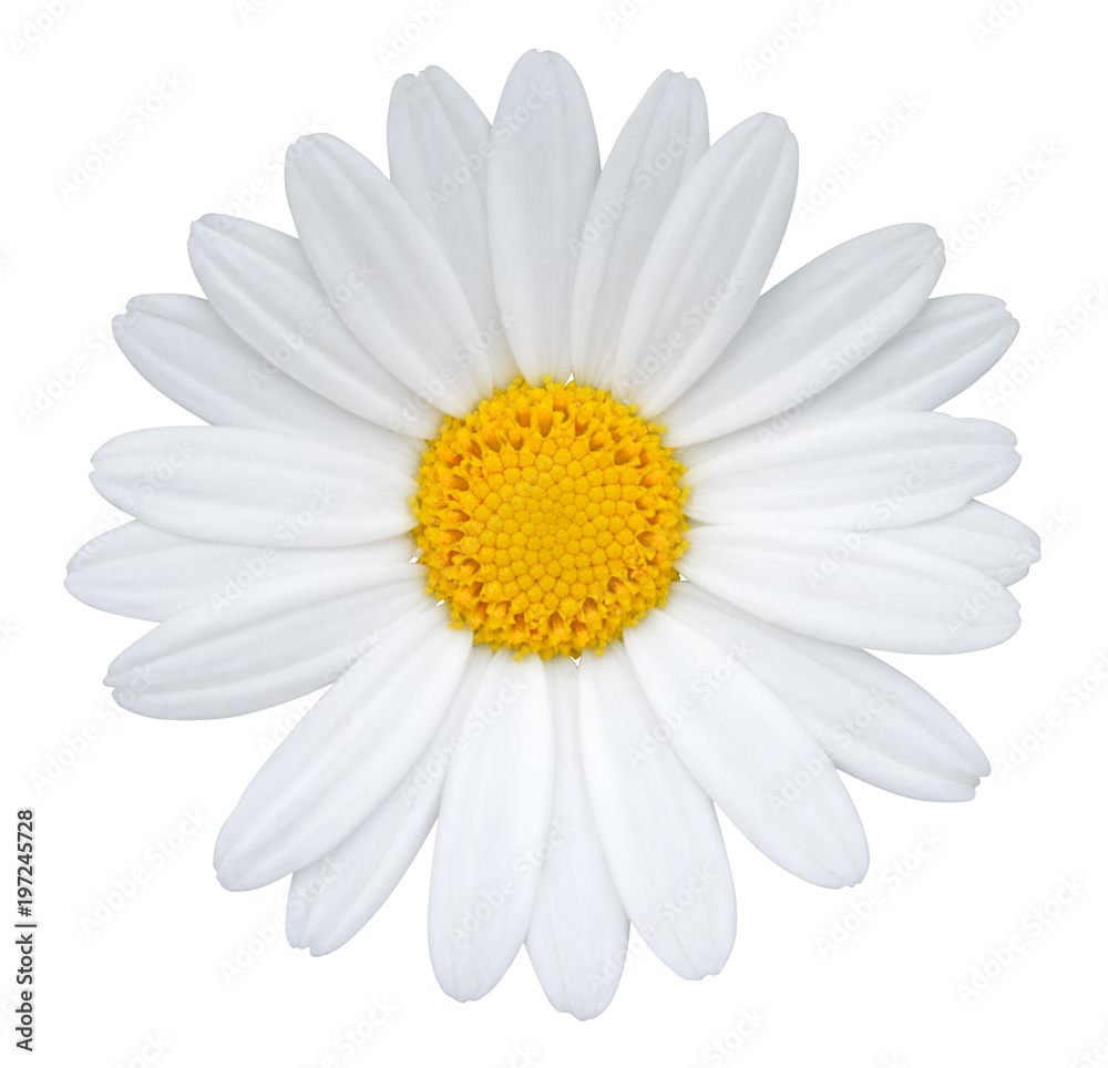 Fototapeta Daisy (Margerite) isolated on white background, including clipping path.