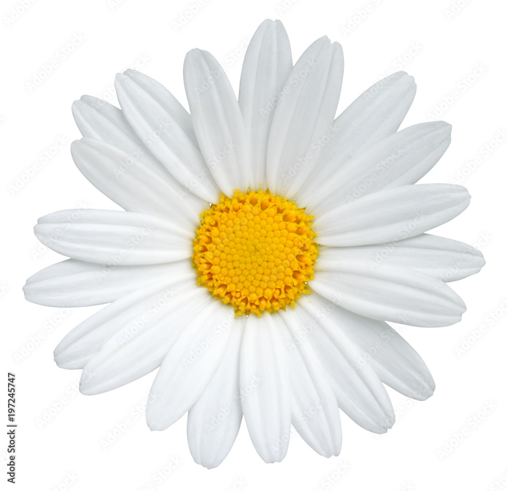 Fototapety, obrazy: Beautiful Daisy (Marguerite) isolated on white background, including clipping path.
