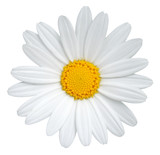 Fototapeta Kwiaty - Beautiful Daisy (Marguerite) isolated on white background, including clipping path.