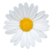 Daisy (Margerite) Isolated On White Background, Including Clipping Path.