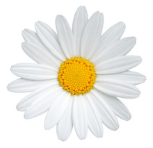 Beautiful Daisy (Marguerite) I...
