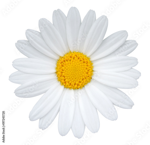 Foto op Canvas Madeliefjes Daisy (Margerite) isolated on white background, including clipping path.