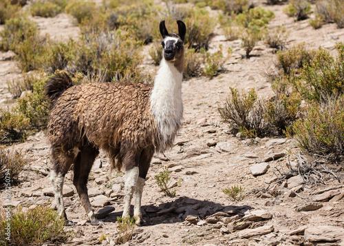 Poster Lama lama among rocky landscape in the Altiplano Bolivia