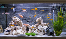 Aquarium With Cichlids Fish Fr...