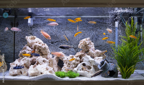 Slika na platnu Aquarium with cichlids fish from lake malawi