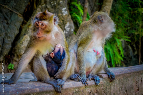 Fotografie, Obraz  Close up of two female monkeys macaques crab-eaters one mom with his baby breastfeeding