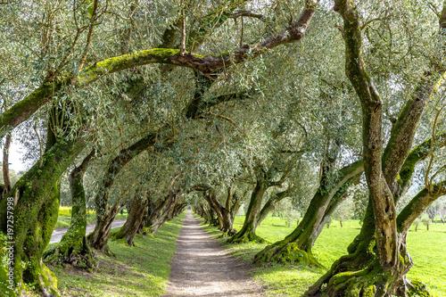 Spanien - Olivenbaumallee im Pazo de Santa Cruz de Rivadulla