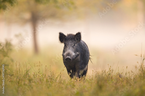 Wild boar in forest in fog