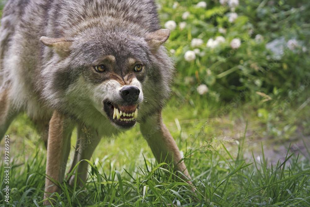 Fototapeta Angry wolf