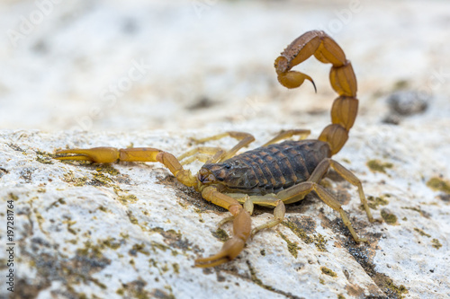 Common Yellow Scorpion