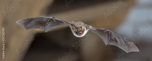 Natterers bat in flight on attic