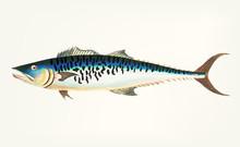 Hand Drawn Of Mottled Mackerel