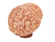 realistic brain from side or front view isolated on a white background 3d rendering