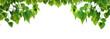 Leinwanddruck Bild - Bodhi green leaf tree isolated on white background.