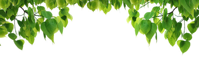 Bodhi green leaf tree isolated on white background.