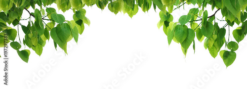 Foto  Bodhi green leaf tree isolated on white background.