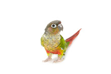 Green-cheeked Conure Bird On W...