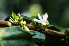 Coffee Flowers Blooming On Cof...