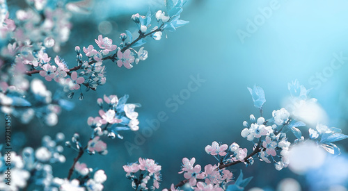 Photo sur Toile Fleur de cerisier Beautiful floral spring abstract background of nature. Branches of blossoming apricot macro with soft focus on gentle light blue sky background. For easter and spring greeting cards with copy space.
