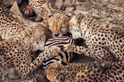 Fotografie, Obraz  Cheetahs
