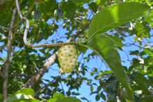 Cheese Fruit Grows On Noni Fru...