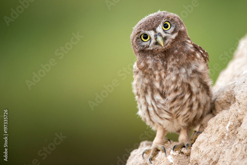 Fotobehang Uil Young little owl (Athene noctua) stands near his hole.
