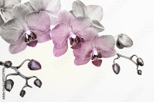 Poster de jardin Orchidée Orchid branche in surreal colors on white background with copy space