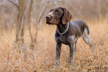 Hunting Dog Resting On The Gra...