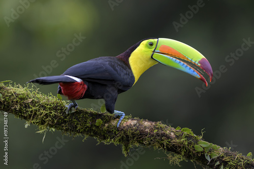 La pose en embrasure Toucan Keel-billed Toucan - Ramphastos sulfuratus, large colorful toucan from Costa Rica forest with very colored beak.