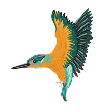 Kingfisher Isolated. Vector Il...