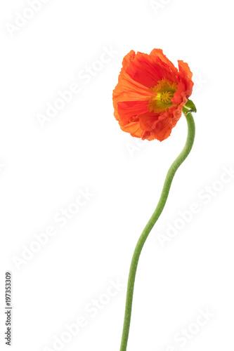 Poster Poppy Mohn Blume