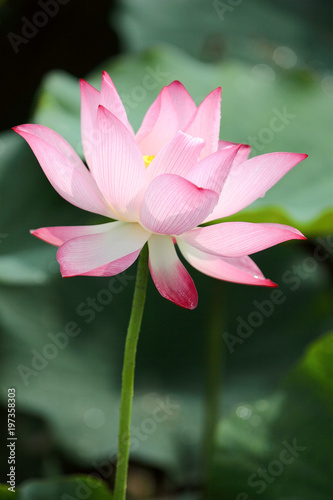 Foto op Canvas Lotusbloem Close-up view of a lovely pale pink waterlily flower with delicate petals and yellow stamen blooming among green leaves in a lotus pond under bright sunshine ( blurred background effect )